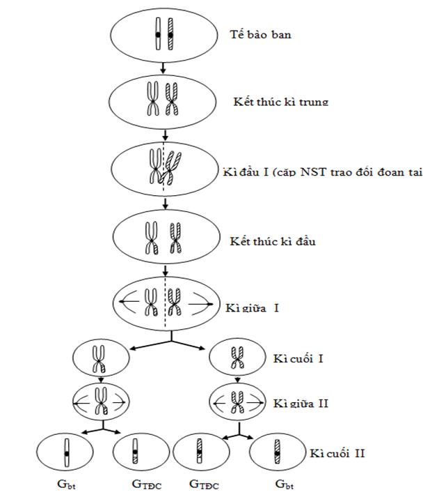 Xác định số kiểu giao tử khi giảm phân xuất hiện trao đổi chéo