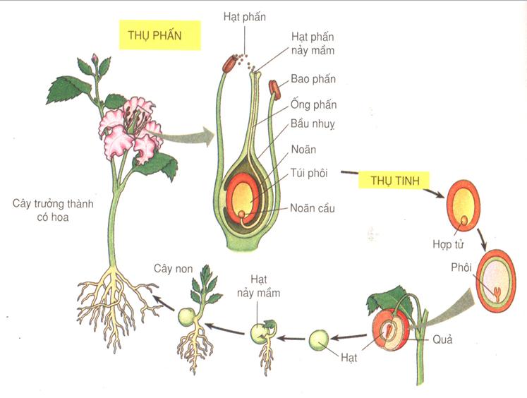 Phát triển ở thực vật có hoa
