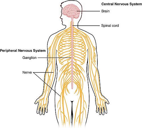 Cảm ứng ở động vật có hệ thần kinh dạng ống