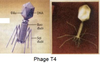 Virus gây bệnh và ứng dụng của virus trong thực tiễn