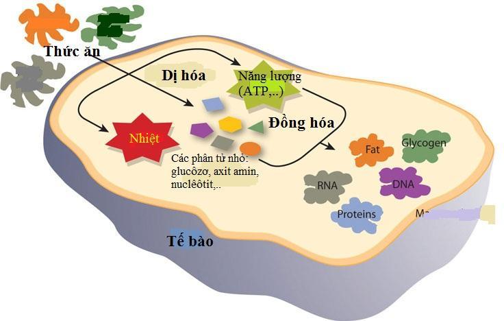 Năng lượng và vật chất trong tế bào.
