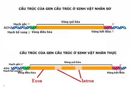 Phân biệt gen ở sinh vật nhân sơ và sinh vật nhân thực .