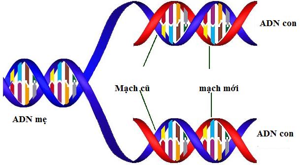 Quá trình nhân đôi ADN