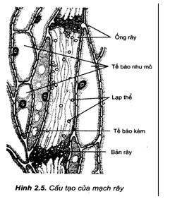 Kết quả hình ảnh cho cấu tạo mạch rây