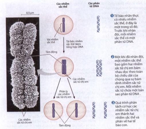 Nhiễm sắc thể - cấu trúc mang gen