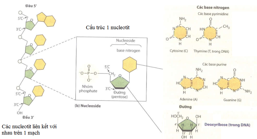 ADN - Gen - sự nhân đôi của ADN